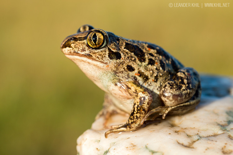 Spadefoot toad / Knoblauchkröte
