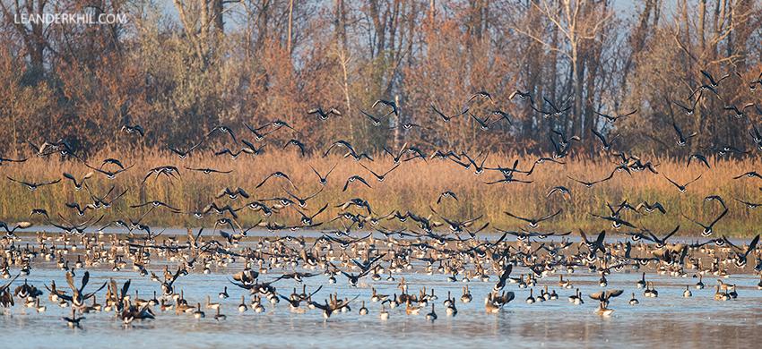 Blässganse / Greater White-fronted geese (Anser albifrons) | Seewinkel, November 2018