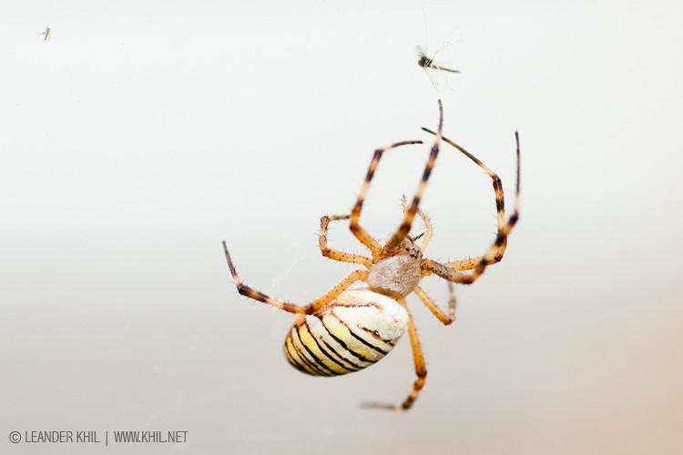 Wasp spider / Zebraspinne