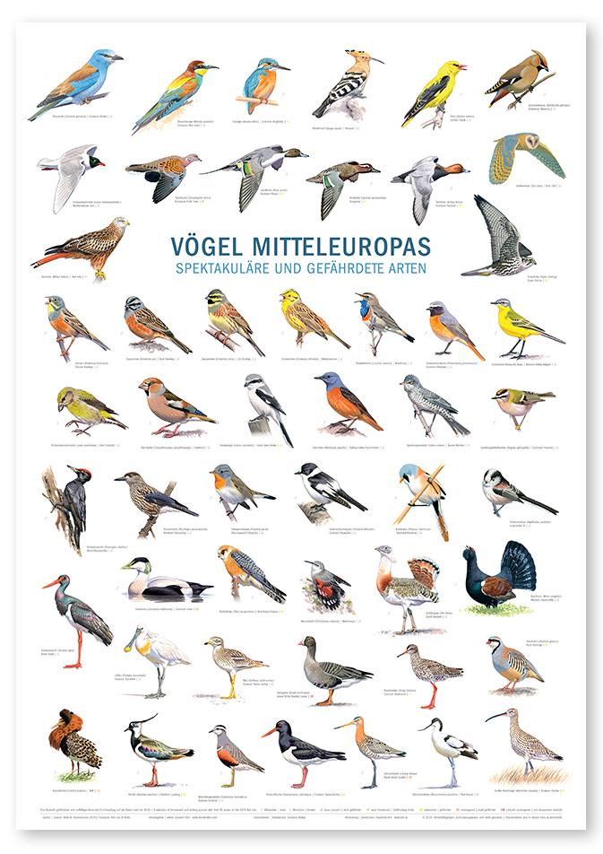 Poster Vögel Mitteleuropas