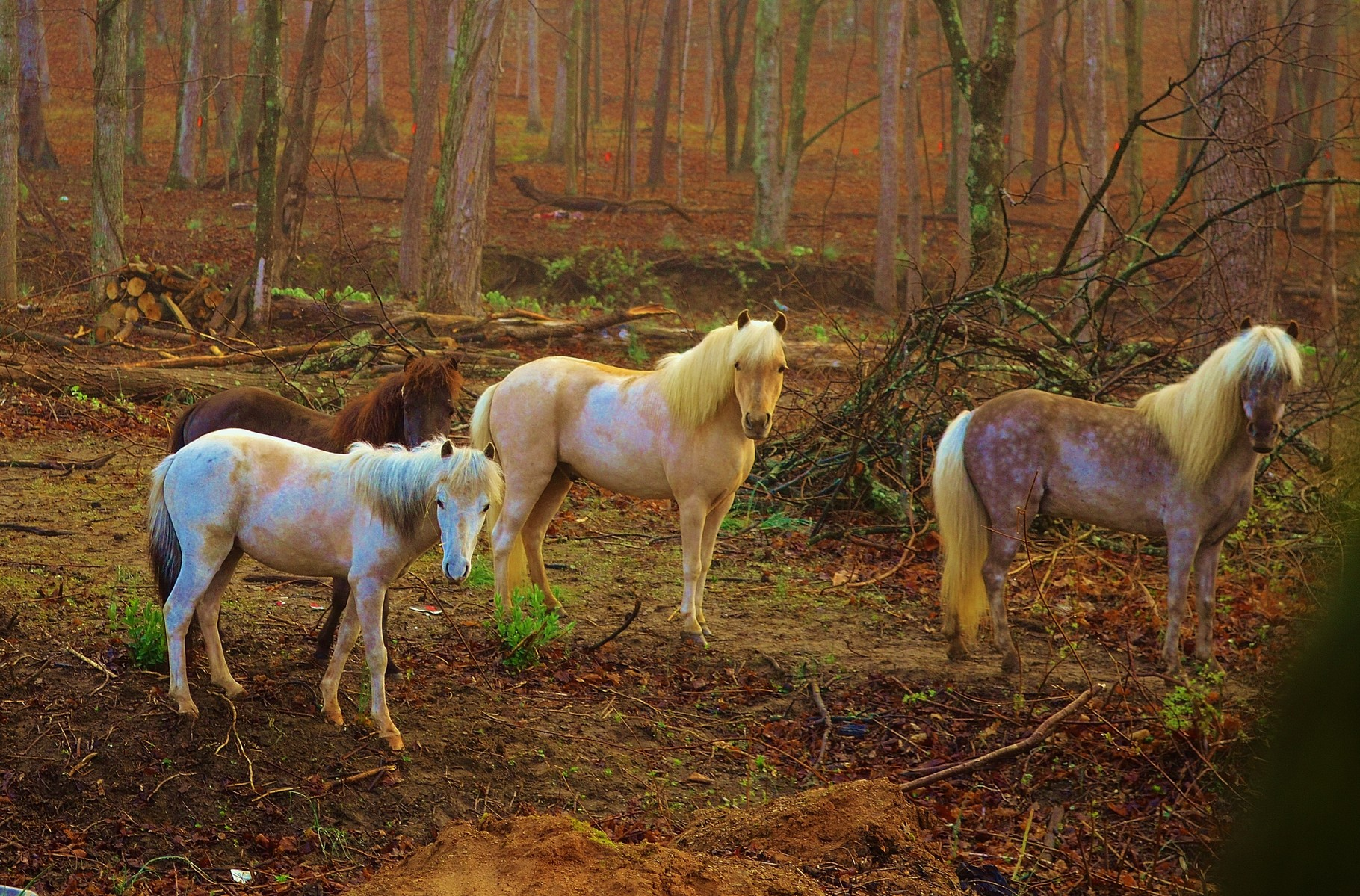 Our miniature horses on a foggy spring morning