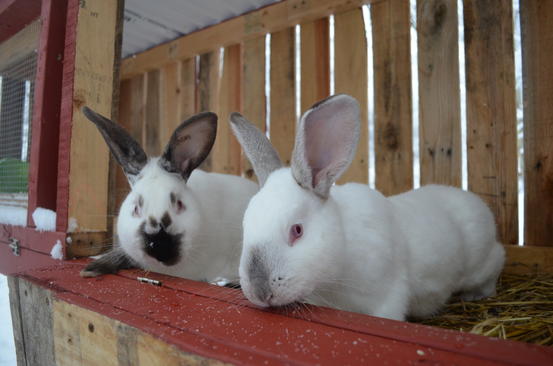Our Californian rabbits