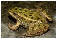 cykl życiowy żaby - autor Jolanta Okuniewska