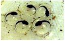 etapy rozwoju żaby - autor Jola Okuniewska
