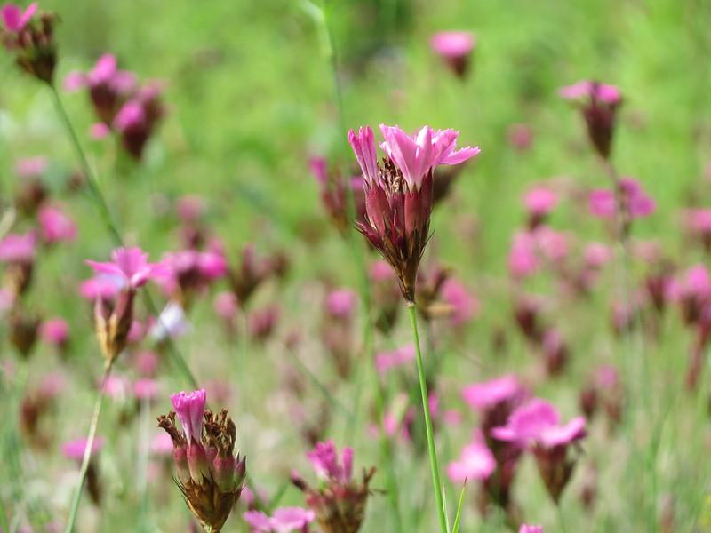 Beide Bilder: Dianthus carthusianorum von Andreas Rockstein - Flickr Commons (Creative Commons Licence Version 4.0)