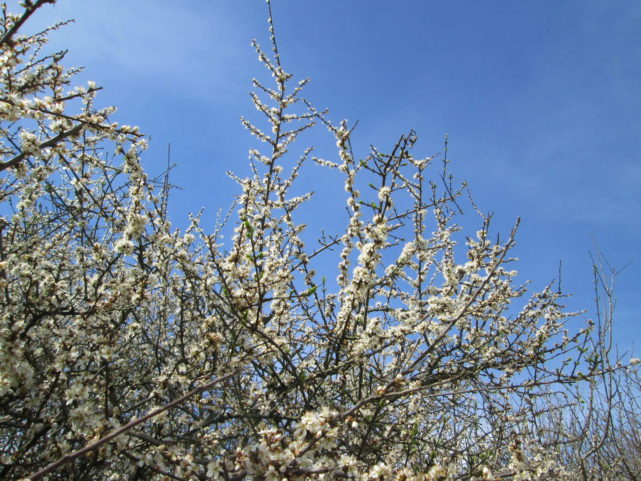 Andreas Rockstein: Prunus spinosa - Flickr Commons (Creative Commons Licence Version 4.0)
