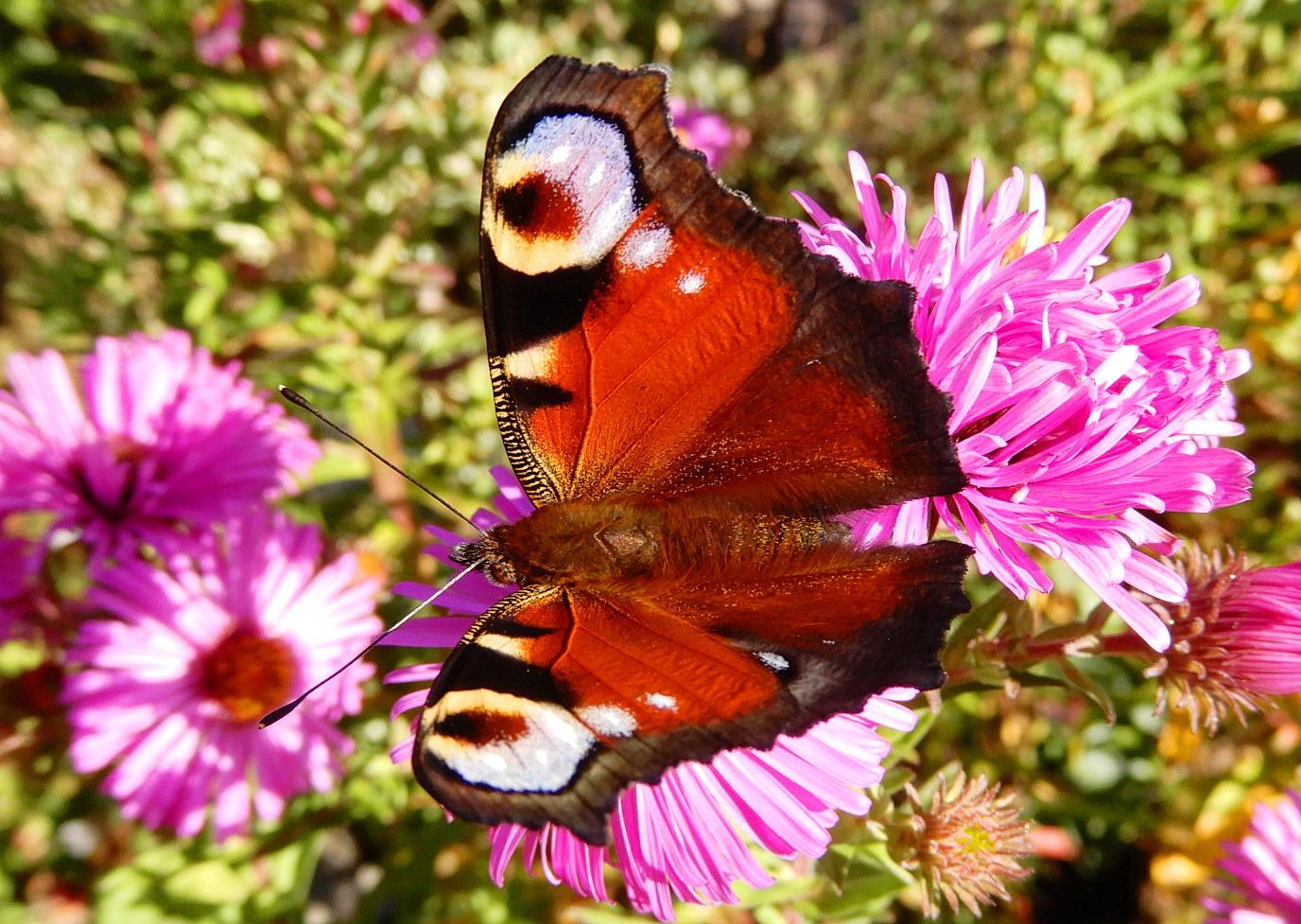 Auch Schmetterlinge lieben Astern