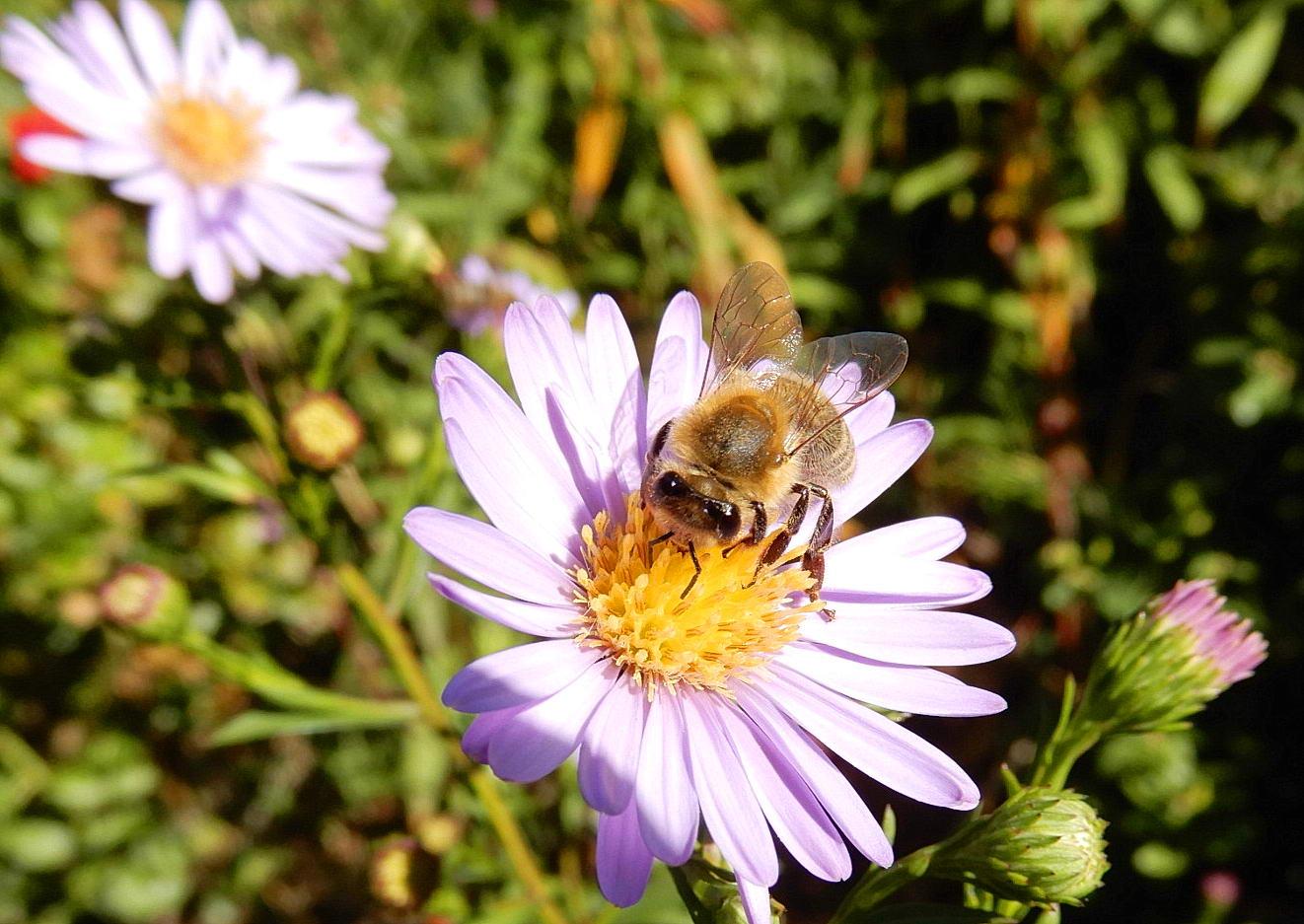 Eine Vielzahl an Astern in Blüte