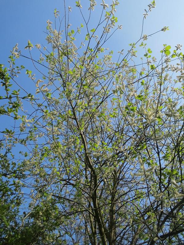 Foto: Salix caprea von Andreas Rockenbach -  Flickr Commons (Creative Commons Licence Version 4.0)