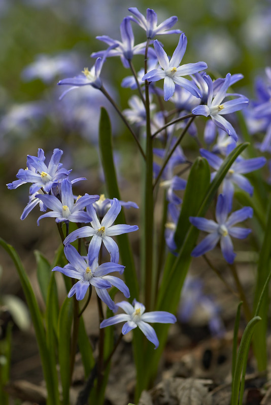 Foto: Magnus Hagdorn -Scilla  -  Flickr Commons (Creative Commons Licence Version 4.0)