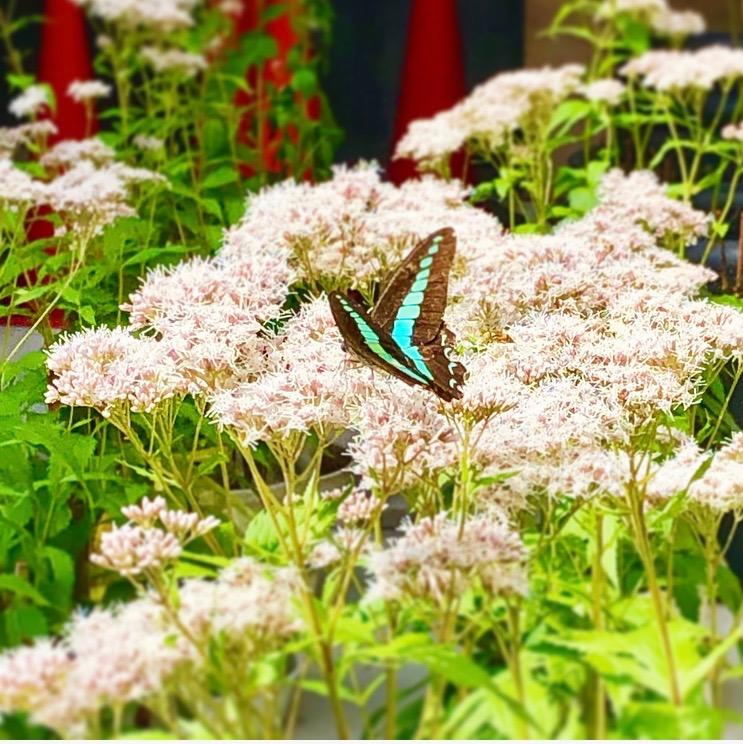 京都市下京区四条烏丸のメンタルクリニックでは、男性もご来院いただけます、藤袴と蝶