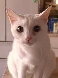 東京ラブリー動物病院の飼い猫パリーナの紹介画像です