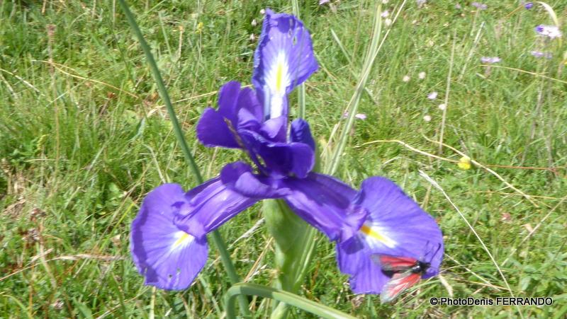 """Zygène """"pourpre"""" très souvent observée sur les iris des Pyrénées"""