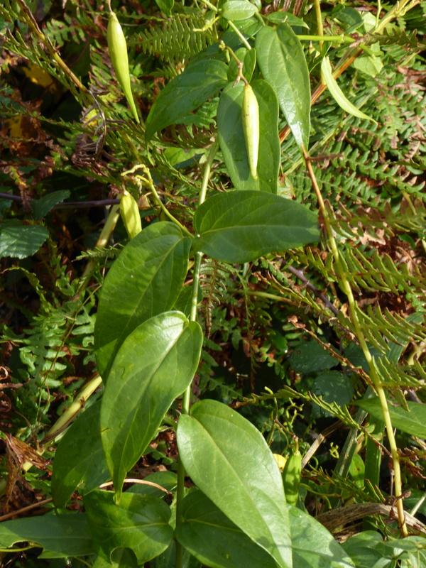 Et en chemin, un peu de botanique : piment sauvage,