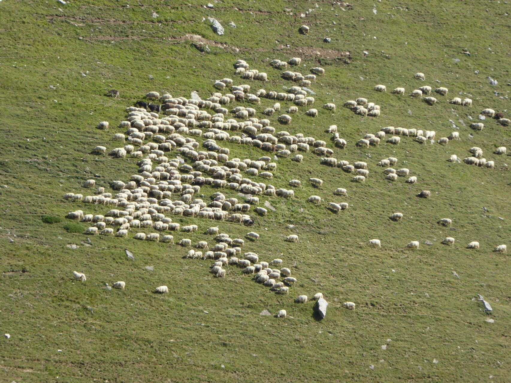Le troupeau de moutons avec son patou