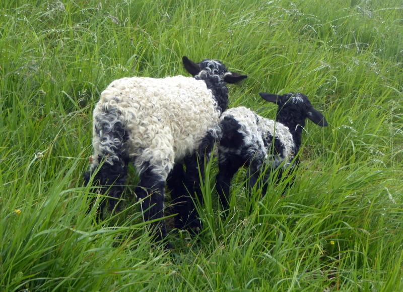 Deux jeunes agneaux