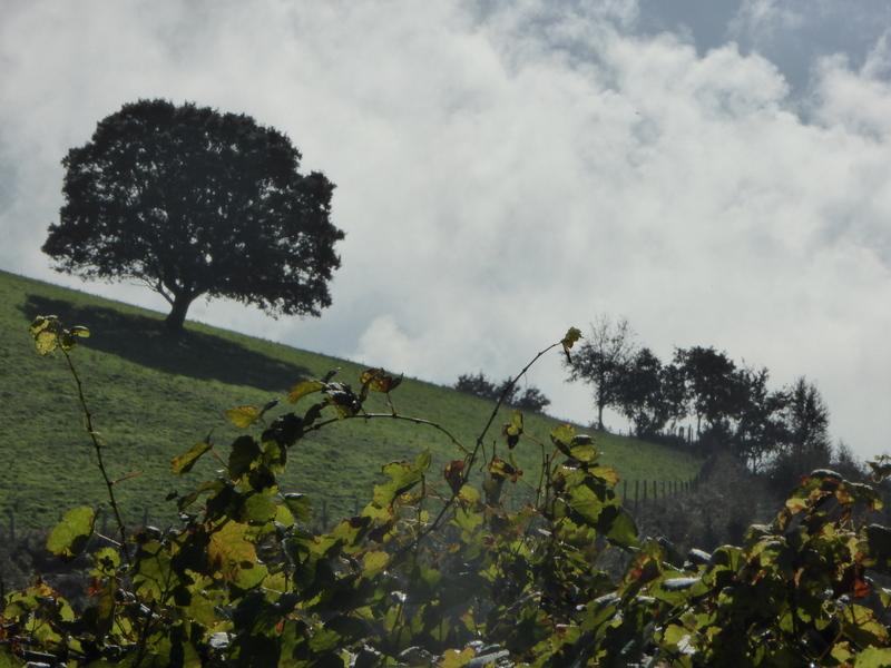 Au premier plan, les vignes de txakoli