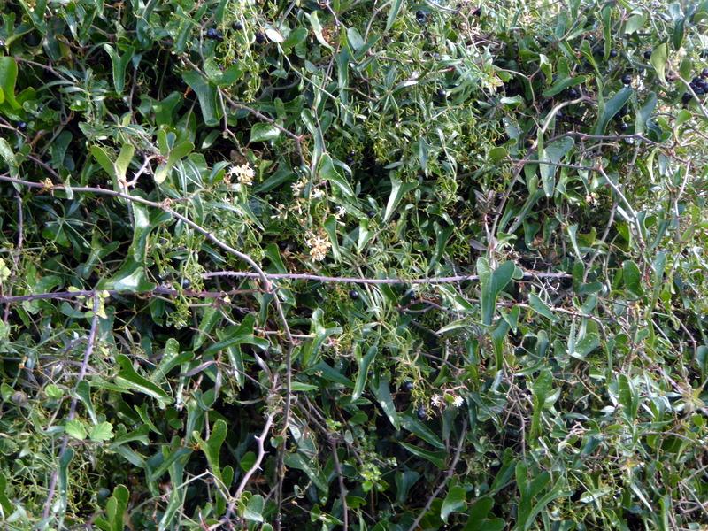 salsepareille, plante réputée pour soigner de nombreux maux