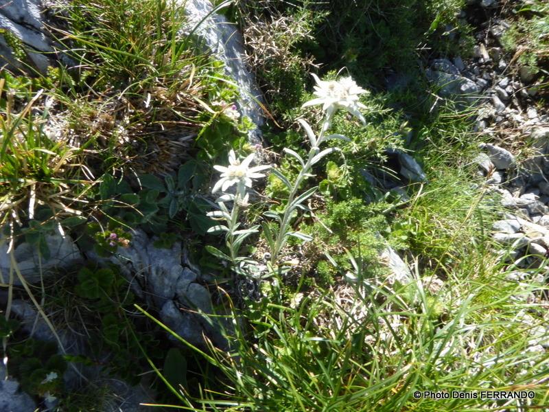 Il reste encore quelques edelweiss