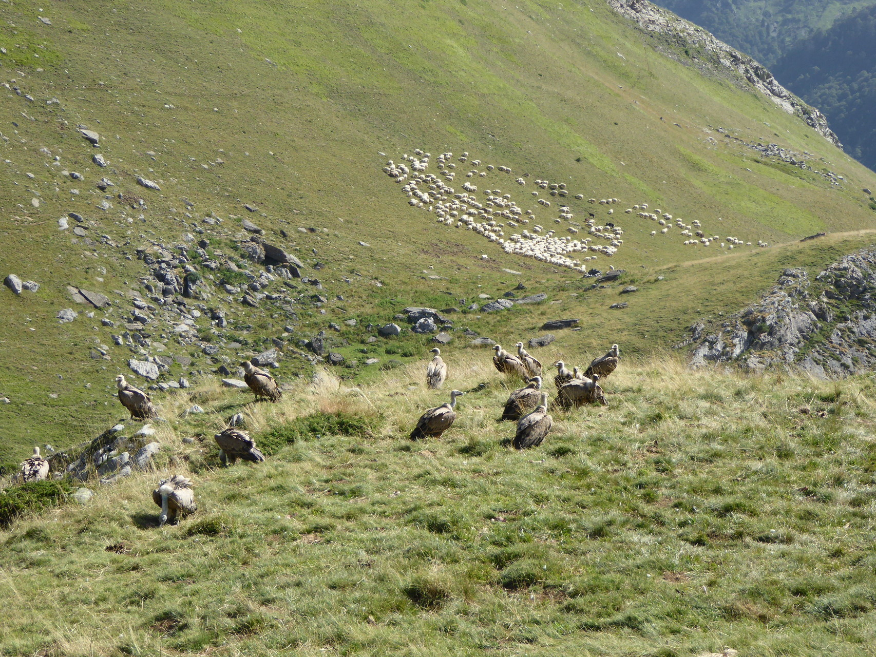 Cohabitation entre les moutons et les vautours