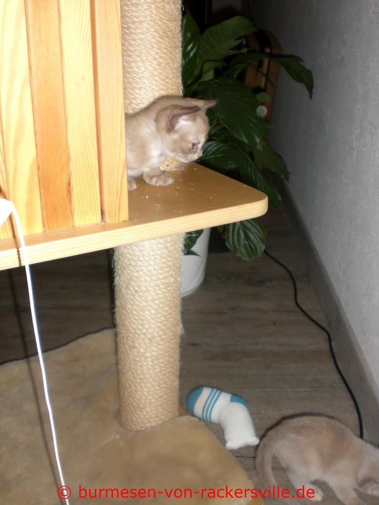 Darcy hat es als erste auf den Kratzbaum geschafft.