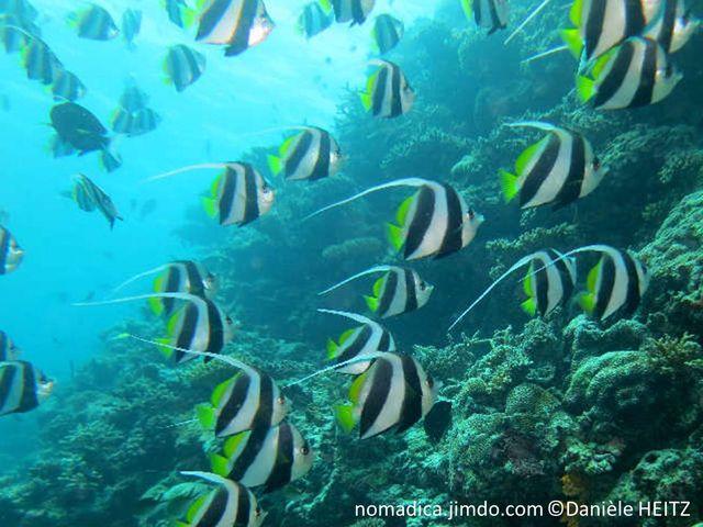 poisson, bandes, blanches, noires, jaune, dorsale, filament, long
