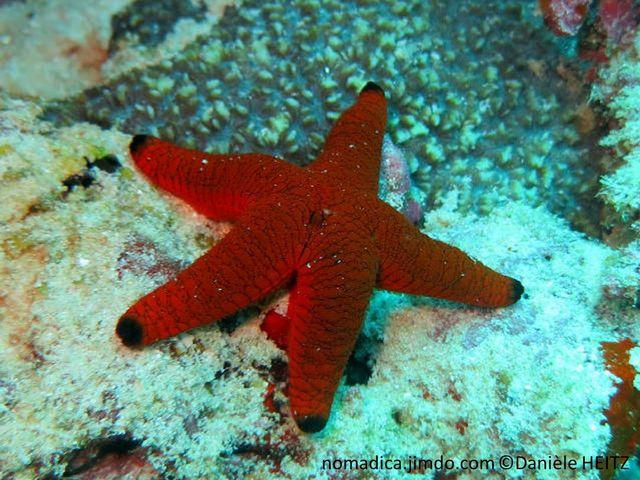 étoile de mer, dodu, rouge, terminaison noire,