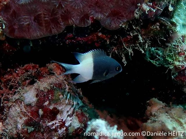 poisson, bicolore, noir et blanc