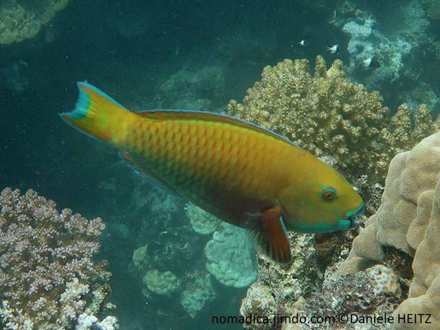 Poisson, front bombé, jaune verdâtre, ventre rougeâtre, gorge bleu-clair
