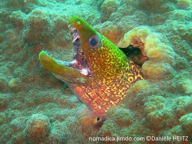 poisson, corps, allongé,  jaune pâle, tête, jaune verdâtre, motif taches, lignes, sombres,