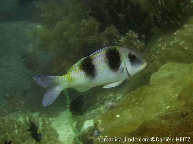 poisson, trapu, écailles, bordées jaunes, teinté mauve,  3 grosses taches noires, 1 sur l'oeil