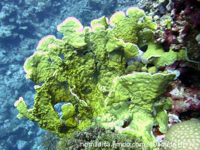 Corail, plaque, verticale, large, ondulée, jaune verdâtre, brunâtre, bordure blanche, surface irrégulière