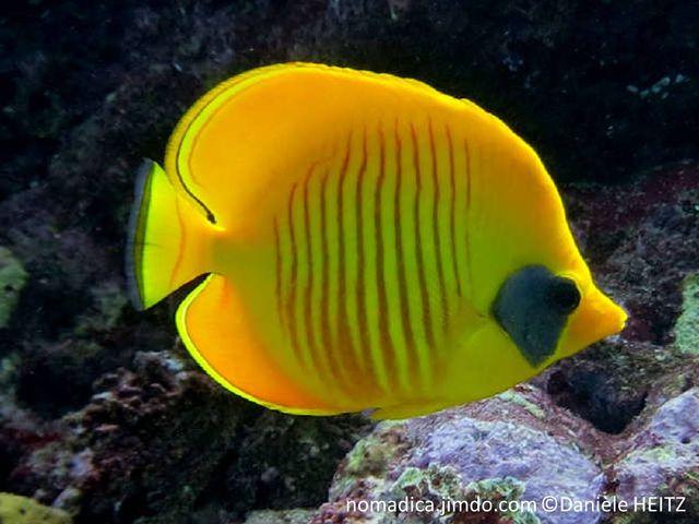 poisson papillon, jaune, rayures, verticales, orangés, joue, tache, bleue