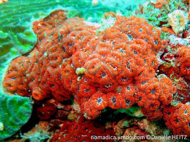 corail, dur, rouge