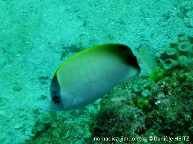 poisson papillon, blanc,dos jaune, oeil, bande noire verticale, arrière corps ,bande noire