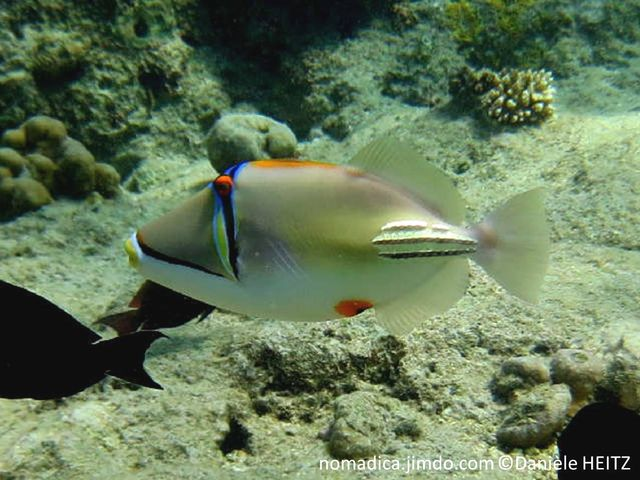 poisson, ovale, beige clair, blanc, ligne verticale noire, bleue, jaune, oeil orange