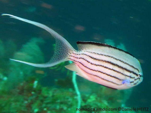 poisson, allongé, gris, blanc, lignes noires, queue de lyre