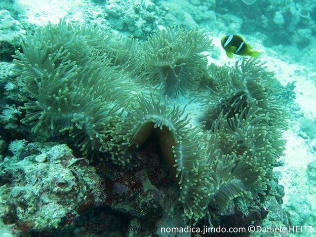 anémone, disque large, tentacules digités, pied, lisse, coloré, rouge, mauve