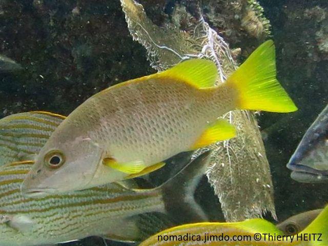 Poisson, comprimé latéralement, gris brunâtre, dos olivâtre, nageoires jaunes