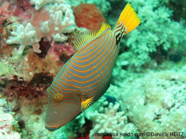 Poisson, ovale, gris verdâtre, lignes oranges, nageoires jaunes