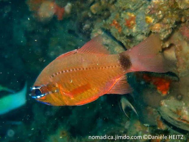 Poisson , corps comprimé ,couleur orange, pédoncule caudale, tache noire, oeil traits bleus