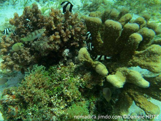 Corail dur, base encroûtante, branches épaisses, cylindriques