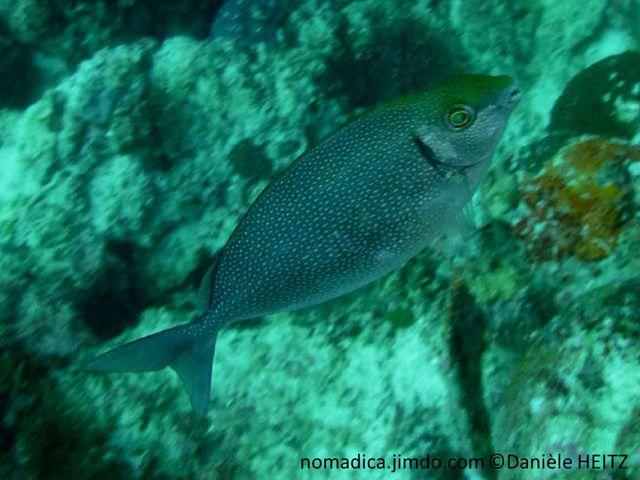 poisson, comprimé, ovale, olivâtre, brun grisâtre, points bleus
