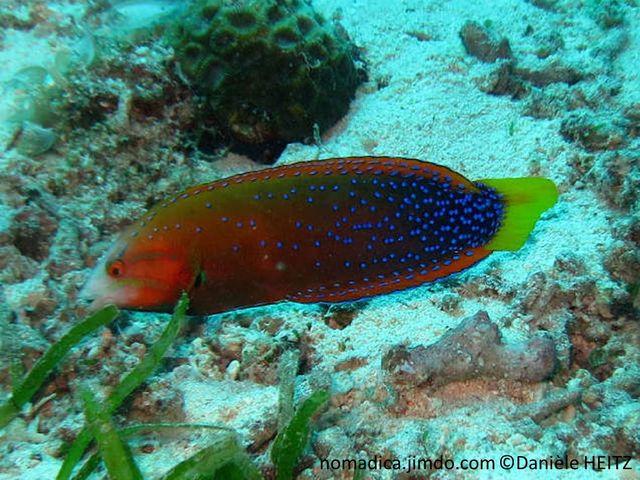 poisson, allongé, corps verdâtre orangé, points bleu vif , moitié arrière, queue jaune