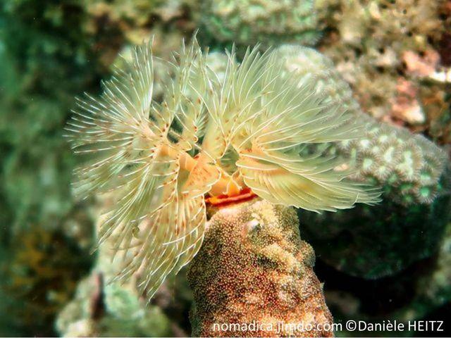 ver marin, grand taille,  panache double spirales, orange rouge blanc