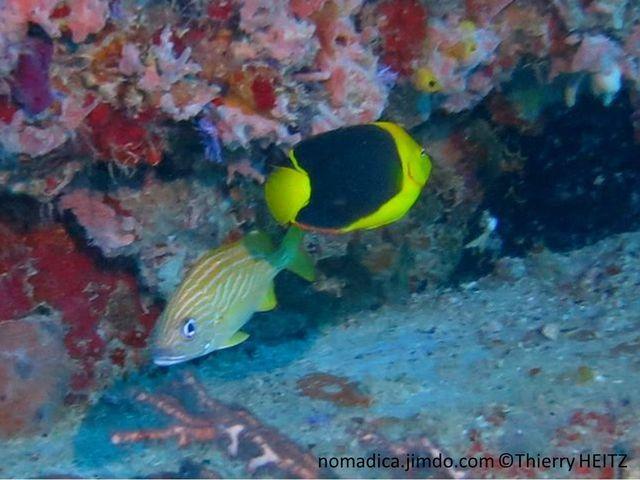Poisson, comprimé, jaune et noir, queue jaune, nageoires, dorsale et anale, liseré orange