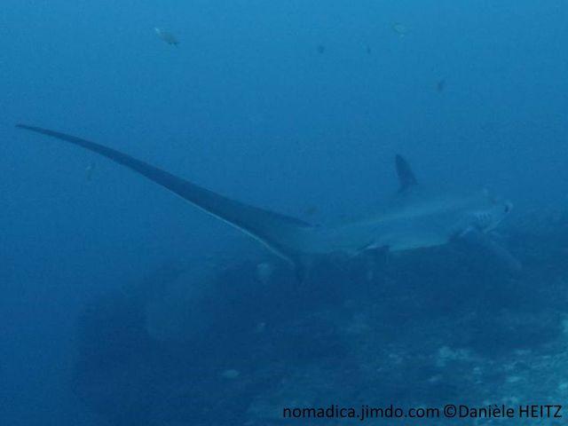 requin,  très longue queue, asymétrique,