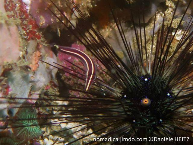 Poisson, long, fin, museau très fin, allongé, couleur  brun rougeâtre à noir, 2 bandes blanches, côté et dos, queue tache noir centre jaune
