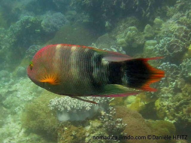 Poisson, massif, gris-verdâtre, bandes  diffuses, noires, blanches, nageoire pectorale orange, queue trilobé, noire orange,