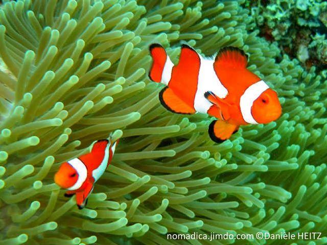 poisson, orange, 3 bandes blanches, bordures noires, fines, nageoires bordées, noires